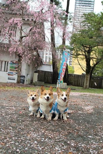 桜1 2015-4-5-4