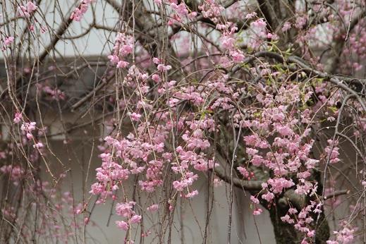桜1 2015-4-5-5