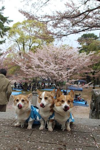 桜1 2015-4-5-6