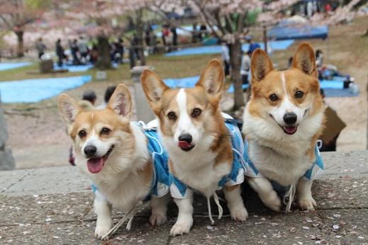 桜1 2015-4-5-7