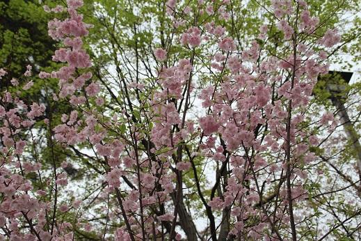 桜1 2015-4-5-8