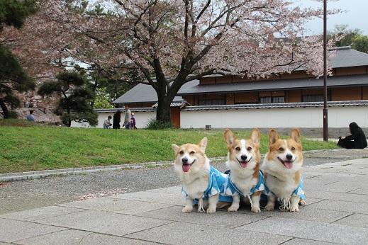 桜2 2015-4-5-5