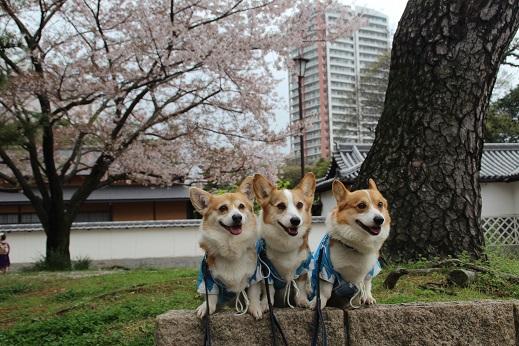 桜2 2015-4-5-11