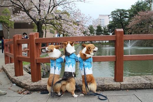 桜3 2015-4-5-3