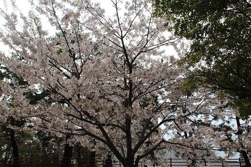 桜3 2015-4-5-4
