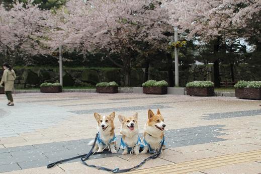 桜3 2015-4-5-7