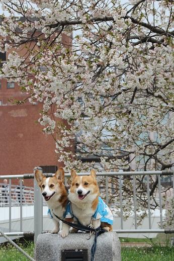 桜3 2015-4-5-9