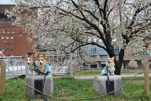 桜3 2015-4-5-10