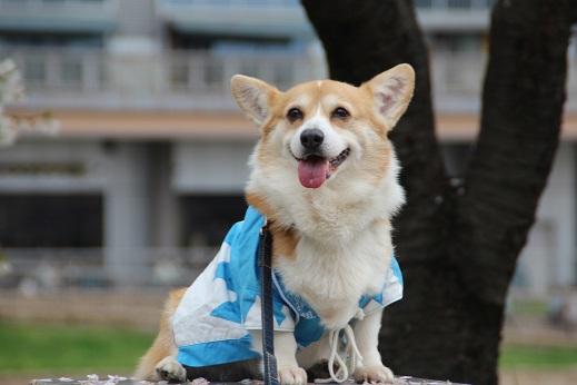 桜3 2015-4-5-11