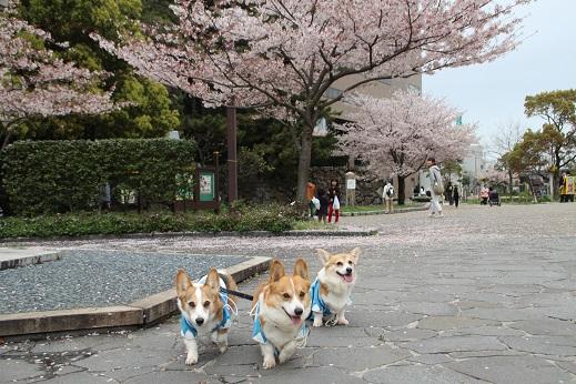桜4 2015-4-5-2