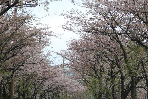 桜4 2015-4-5-7