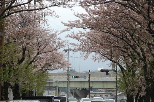 桜4 2015-4-5-8