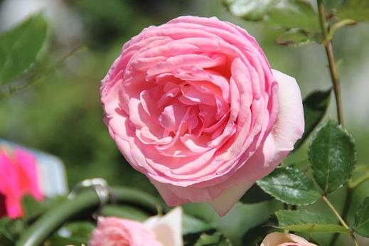 バラ祭 2015-4-25-2