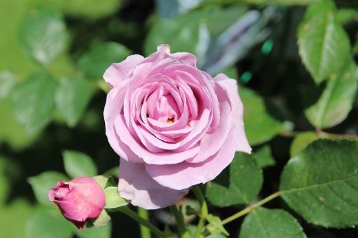 バラ祭 2015-4-25-3