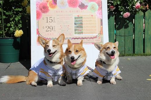 バラ祭 2015-4-25-8