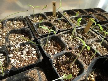 150308 トマトの苗