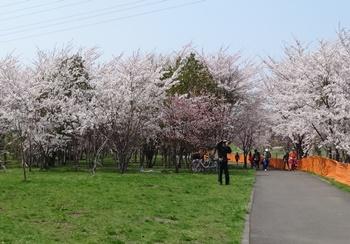 150429 豊平川桜の杜