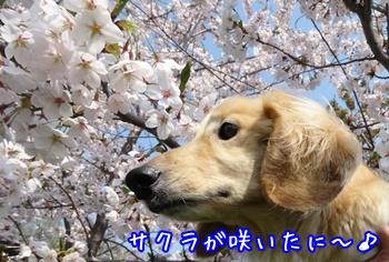 150429 桜が咲いたに