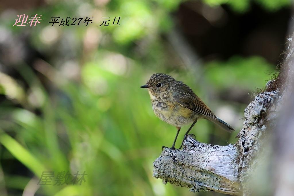 ルリビタキ 幼鳥