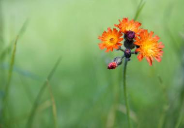 Orange_Hawkweed_convert_20150419043558.jpg
