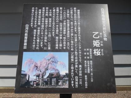 150601_乙姫桜_1