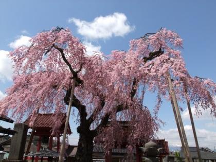 150601_乙姫桜_2