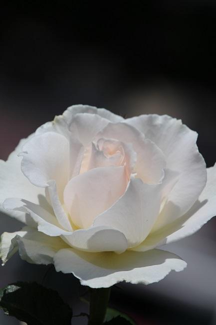 ヴェルニー薔薇22