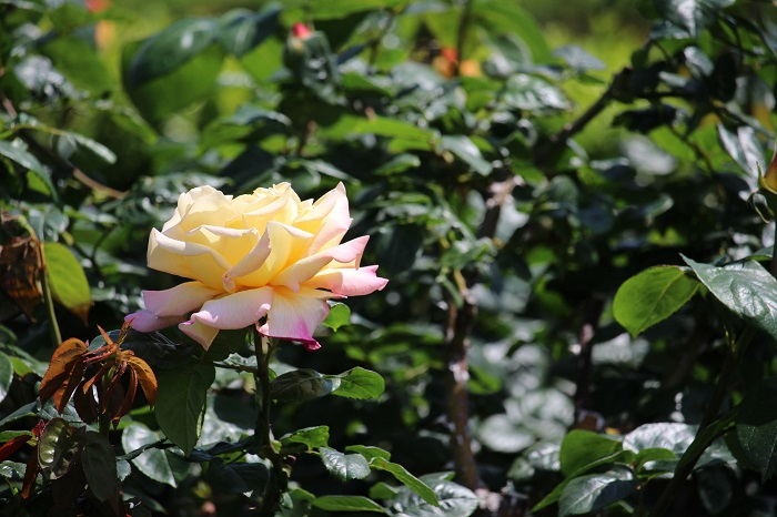 薔薇平和1