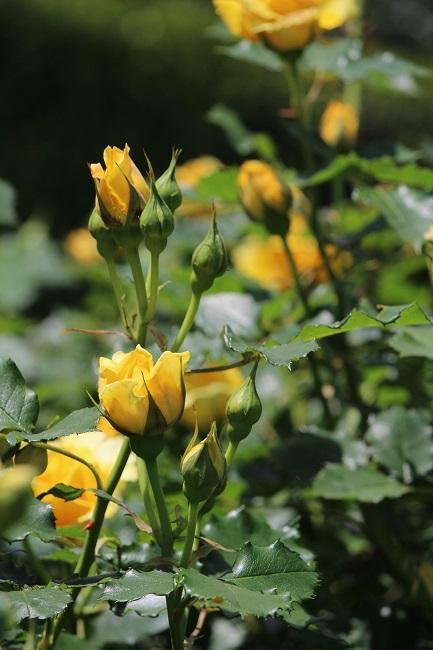 ヴェルニー薔薇23