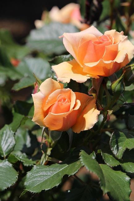 ヴェルニー薔薇24