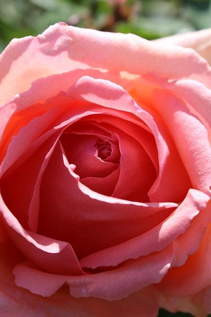 ベルニー薔薇25