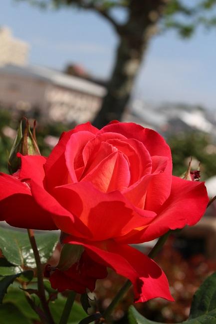 ベルニー薔薇26