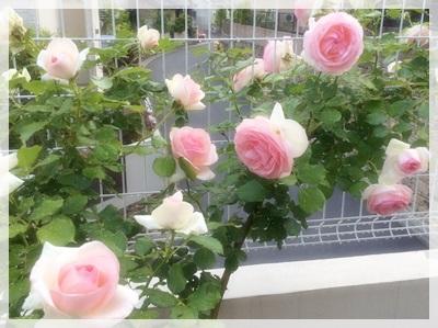 2015.5お庭のバラ