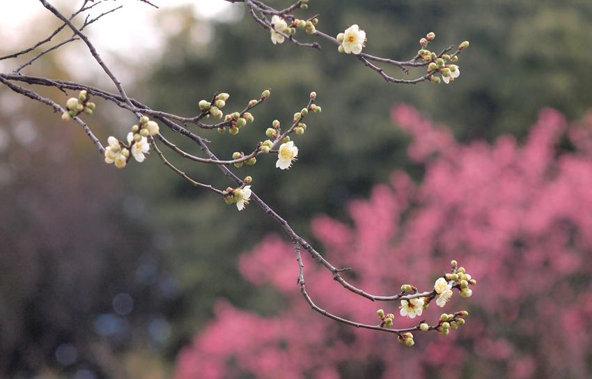 270219山田池公園梅林10