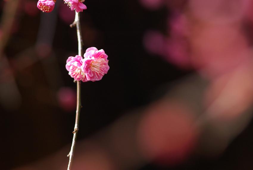 紅梅(北野)03