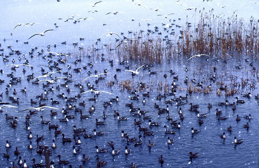 野鳥(冬)02b