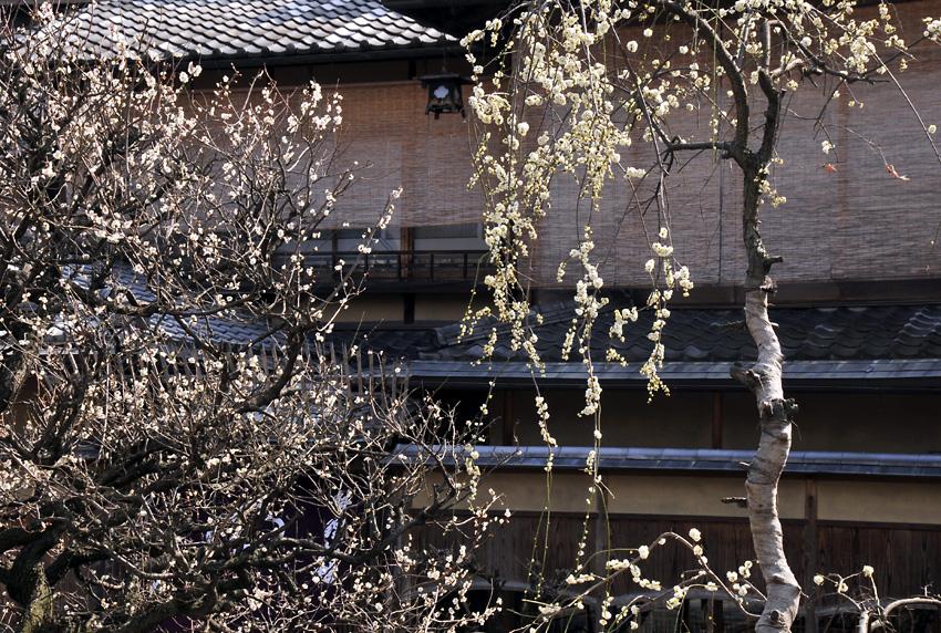 祇園の梅03