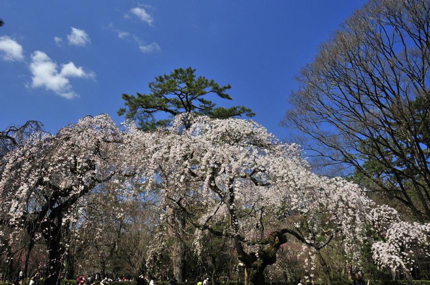 桜(京都御苑)06