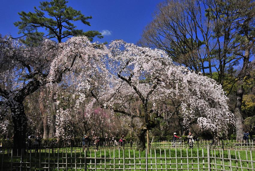 桜(京都御苑)08