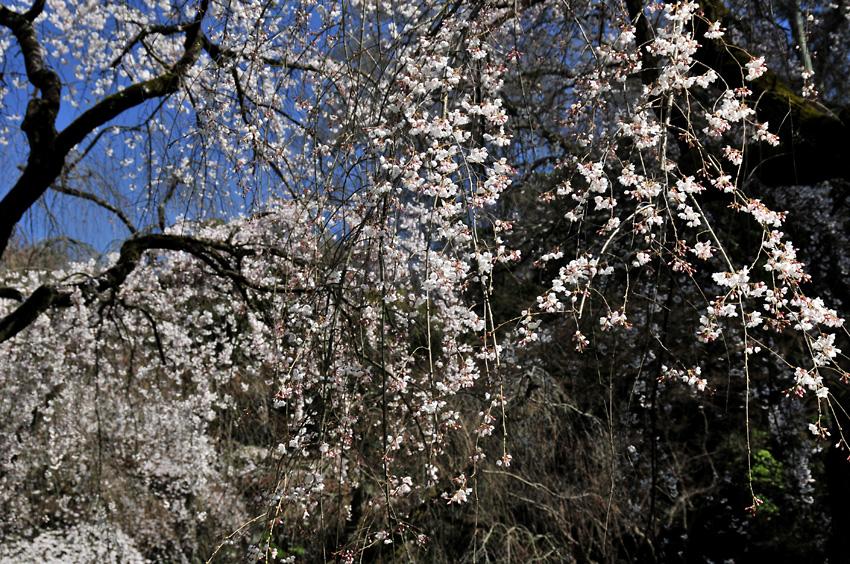 糸桜(京都御苑)03