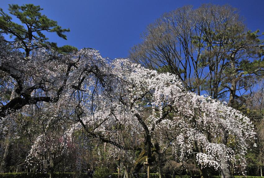 糸桜(京都御苑)02