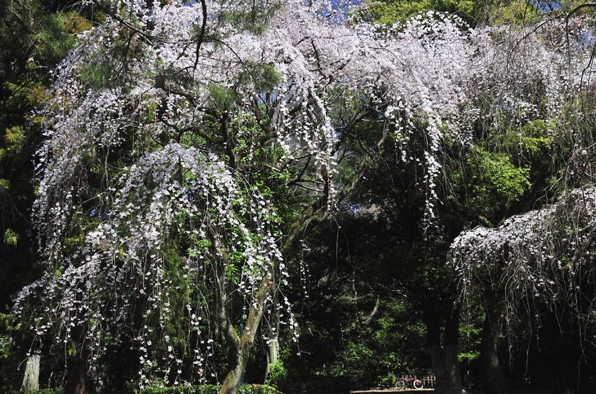 糸桜(京都御苑)01