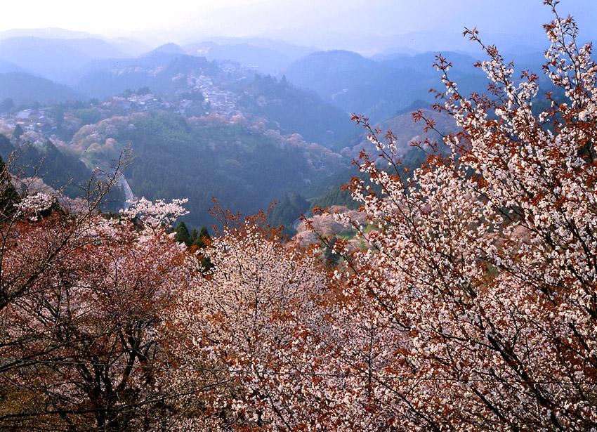 吉野の山桜01