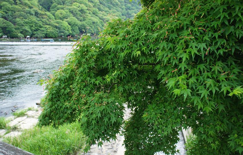 新緑嵐山01