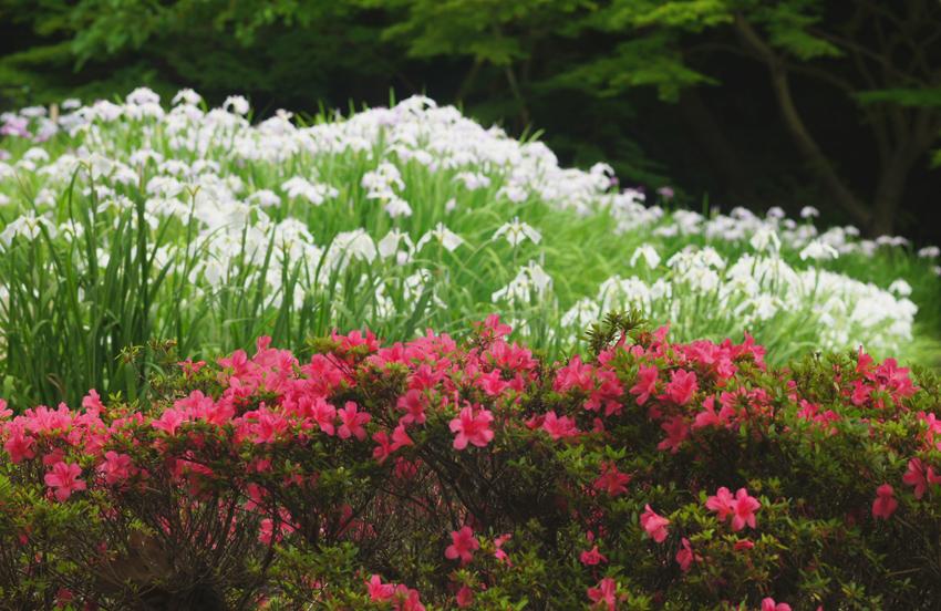 初夏に咲く02