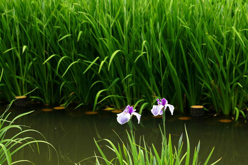 花菖蒲(山田池)11
