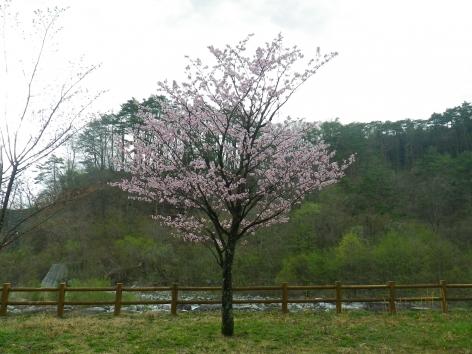 御座松キャンプ場 2015 桜の木