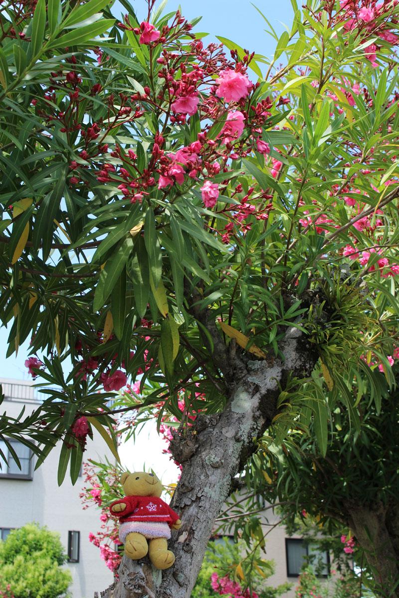 夾竹桃の木の上で