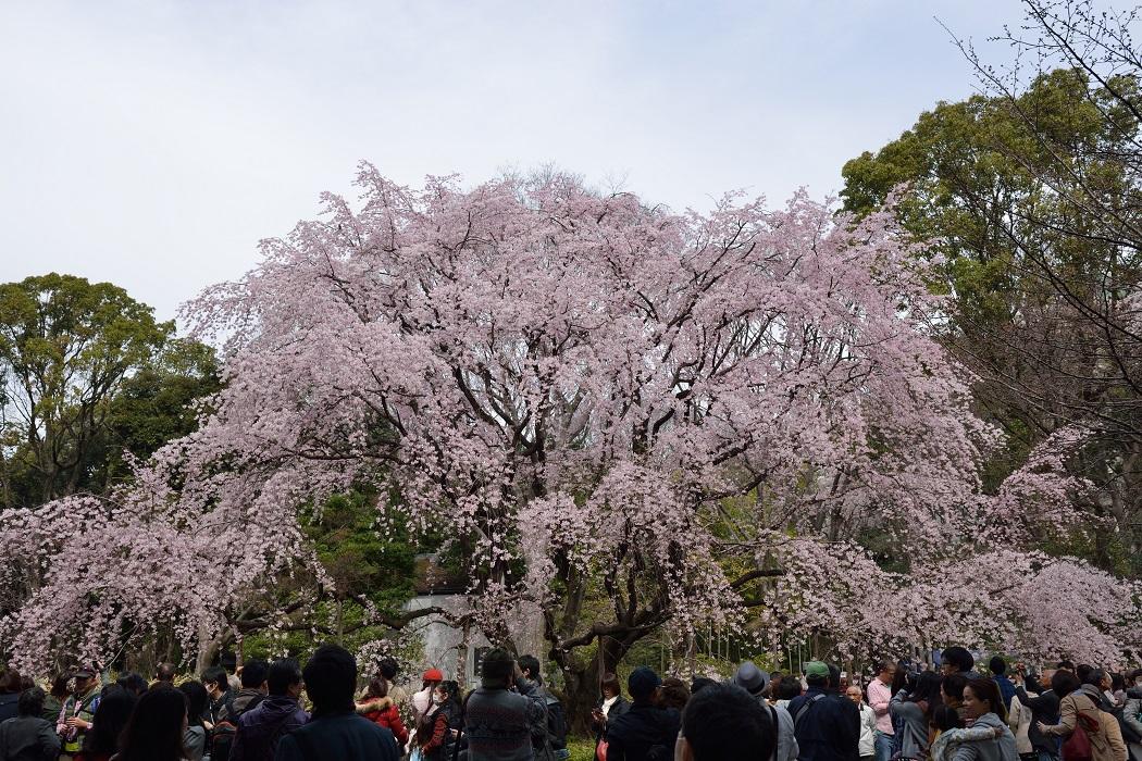 大名庭園のしだれ桜
