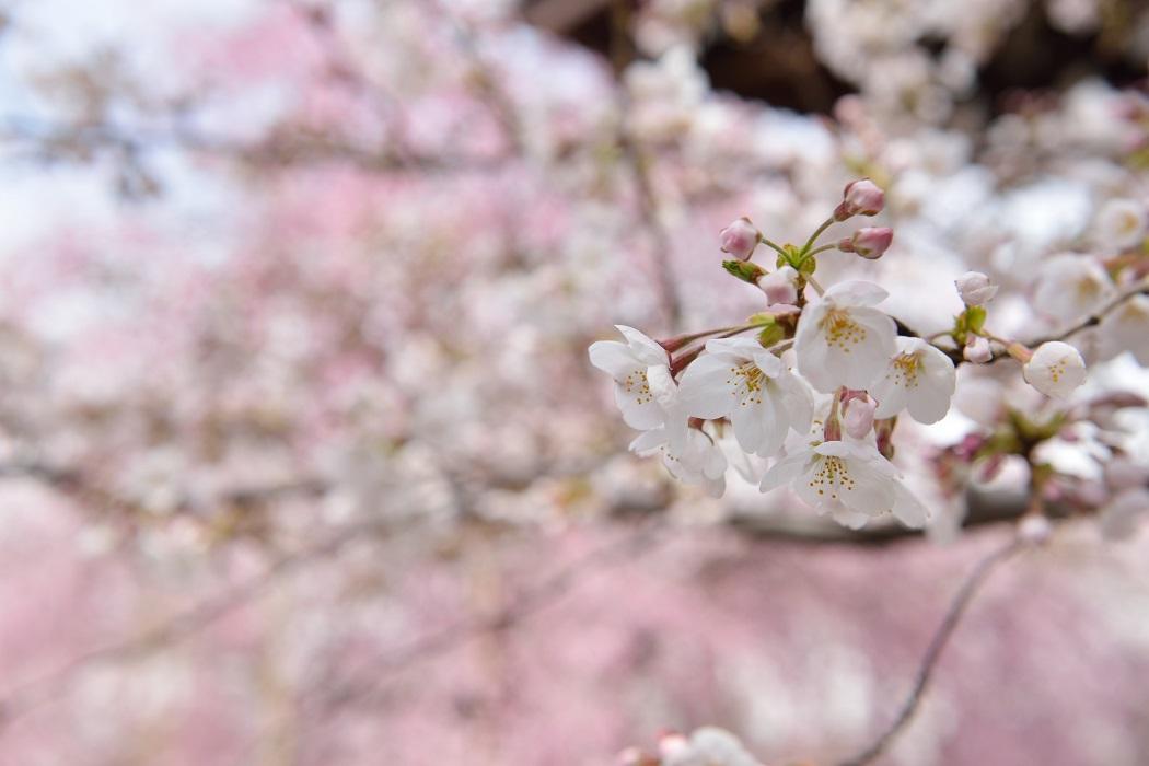 桜咲く境内③